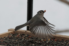 Tufted Titmouse (Diane Marshman) Tags: black bird gray tan seed feeder sunflower peanut titmouse tufted