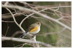 Red-flanked Bluetail (Dora Korz- 21 Mpix Photography- former Dora Korz P) Tags: winter canada bird nature canon siberia 40 birder 400mm redflankedbluetail rarebirds womenphotographers polacyfotografujacy canon5dmarkii
