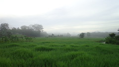 #2 (david sapta) Tags: sunrise indonesia ricefield goldenhour paddyfield sawah lampung pocketcamera matahariterbit mentaripagi lampungutara sonydscw630 davidsapta sonycybershotw630