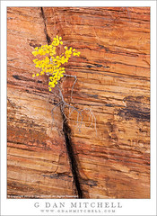 Autumn Leaves, Layered Sandstone with Diagonal Crack (G Dan Mitchell) Tags: park travel autumn red cliff usa plant color fall nature face leaves yellow rock wall america season print landscape golden utah bush sandstone small north stock scenic diagonal crack national strata license zion shrub layered