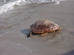 Sea Turtle Release 3 (MyFWCmedia) Tags: ocean fish florida turtle wildlife release seaturtle fwc floridafishandwildlife myfwc myfwccom