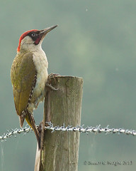 Green Woodpecker (Stuart G Wright Photography) Tags: green bird birds woodpecker wildlife worcestershire wwwstuartgwrightcom