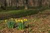 Narcissus pseudonarcissus (Eric Hunt.) Tags: orange flower yellow bulb fragrant narcissus amaryllidaceae narcissuspseudonarcissus lentlily geophyte
