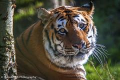 Siberian tiger (www.chriskench.photography) Tags: animals photography nikon paradise wildlife nikkor mammals hertfordshire herts paradisewildlifepark d700 kenchie chriskenchphotography