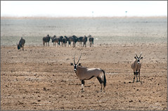 Namibia || Etosha's pan (zedith) Tags: africa travel animals nikon wildlife scenic biosphere safari pan nikkor namibia etosha wildebeest bornfree biodiversity gemsbok grazers zedith afnikkor80400mm14556vr
