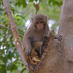 Rhesus Macaque (Treflyn) Tags: park wild animal fauna asian monkey asia wildlife national mangrove jungle swamp primate bangladesh macaque rhesus sundarbans