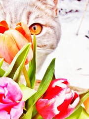 the little tulips inspector (piaktw) Tags: pink flowers winter red orange cat garden spring kitten tulips sweden britishshorthair inspector inspecting got luddkolts bluetortiespotted gotalnwick