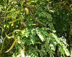Adenanthera pavonina Airlie Beach Park P1130642 (Steve & Alison1) Tags: leaf airliebeach mimosaceae redbeadtree arfp adenantherapavonina australianrainforestplants adenanthera qrfp arfflowers yellowarfflowers galleryarf lowlandarf