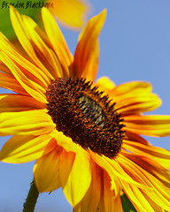Sunflower at UCSC PICA Foundational Roots Garden (Brandon Blackburn) Tags: california santa flowers blue sky flower macro yellow canon garden eos rebel community focus university head roots brandon sharp seeds blackburn pica cruz sunflower program tall 60mm bb efs asteraceae ucsc t3i in foundational agroecology blinkagain blackburnbrandon brandonblackburn