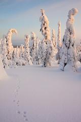 Riisitunturi National Park (flyingdodo) Tags: winter snow animal suomi finland landscape nationalpark hare tracks lapland prints riisitunturi