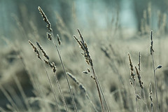 Winter Grasses (jillyspoon) Tags: winter nature vertical depthoffield stems grasses stalks canon60d