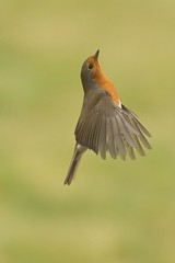 Robin in flight (r-and-b) Tags: winter red food bird robin flight redbreast birdinflight gardenbird