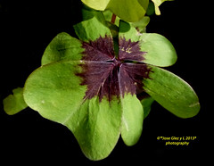 Green flowers on black (Pepe (ADM)) Tags: flowers flower green nature flor fiori onblack greenflowers fleure