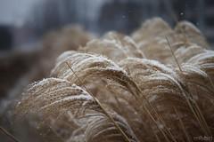 Gentle Blizzard | 052/365 2013 (mfhiatt) Tags: winter snow grass blizzard day52 dusting 3652013 mfhiatt 2013inphotos michaelfhiatt 365the2013edition 21feb13