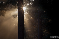 Godbeams (Charlotte Hamilton Gibb) Tags: california winter sunlight sunrise nationalpark yosemite rays yosemitenationalpark sunbeams yosemitevalley godbeams yosemitenp weatherandseasons