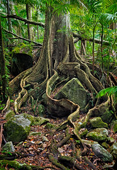 rainforest tree roots (cp991) Tags: green nature forest palms landscape moss bush nikon rainforest rocks fig hiking australia adventure boulders treetrunk bushwalking ferns mossy treeroots bushland leaflitter tropicalforest mtwarning mtwarningnationalpark nikond800 mtwollumbin cameronpitcherphotography