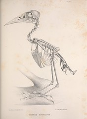 n80_w1150 (BioDivLibrary) Tags: birds anatomy bones smithsonianinstitutionlibraries bhl:page=41398967 dc:identifier=httpbiodiversitylibraryorgpage41398967 2016bioblitz