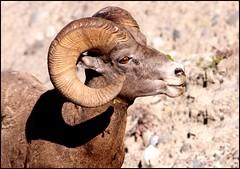 Big Horn Sheep - A Male Watches Me (greenthumb_38) Tags: canada reunion rockies sheep canadian alberta bighorn 2012 bighornsheep canadianrockies jeffreybass august2012 moseankoreunion canadianbighornsheep