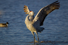 Jumping for Joy 0201 (Dr DAD (Daniel A D'Auria MD)) Tags: nature wildlife birding bosquedelapachenwr cranes sandhillcrane gruscanadensis wildlifephotography sanantonionewmexico danieldauriamd drdadbookscom