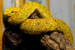serpente (Leonardo Delfini) Tags: park parco zoo italia safaripark serpente rettile zoosafari novara velenoso pombia parconatura safariauto