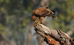 steppe eagle (zahoor-salmi) Tags: camera pakistan macro nature birds animals canon lens photo tv google flickr natural action wildlife watch bbc punjab wwf salmi walpapers chanals discovry beutty bhalwal zahoorsalmi thewonderfulworldofbirds blinkagain