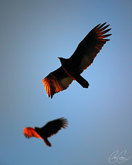 Feather Tipped Duo (carlsonee) Tags: blue light sunset red two orange color birds digital canon golden natural duo flight feathers magichour clearsky beaks markiii 5dmarkiii
