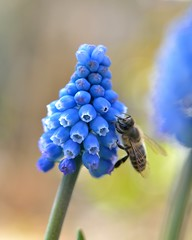 Spring has come (myu-myu) Tags: flower nature japan nikon ngc bee explore mygarden  muscari d800   60mmf28gmicro