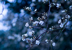 Plum tree in blossom (Pixel_peeper) Tags: tree nature spring plumblossoms