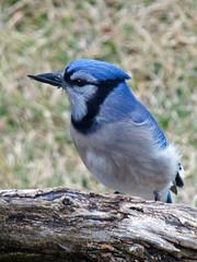 P1080683 (lbj.birds) Tags: bird nature jay wildlife bluejay kansas mutant flinthills