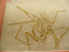 Pterodactylus (subhumanfreaks) Tags: europe jurassic extinct pterosaur