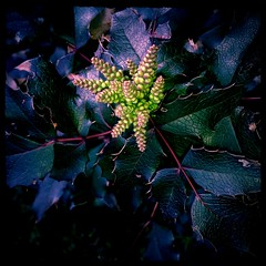 Mahonia evergreen shrub  flowers as art  edition indigo glow by Aviary  (eagle1effi) Tags: macro art square colorful flickr bestof glow artistic kunst indigo aviary edition erwin mahonia tapping 500x500 lumia effinger eagle1effi ae1fave effiart