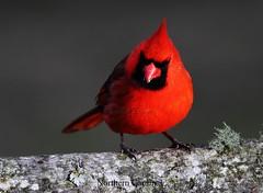 Northern Cardinal 0311(3) (rail308) Tags: cardinal monty northerncardinal lovette canoneos60deos60dwildlifenorthcarolinabirdonperchcanonef400mmf56l