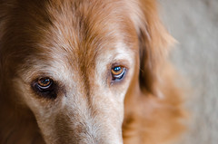 got his eye on you (fallsroad) Tags: dog goldenretriever rufus servicedog assistancedog thelittledoglaughed seizureresponsedog jenksoklahoma nikond7000