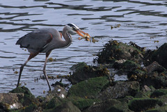 Great Blue Heron with fish (Walt Barnes) Tags: fish bird heron nature canon eos scenery wildlife richmond calif greatblueheron sanpablobay 60d canoneos60d eos60d ebparksok wdbones99
