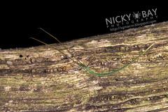 Twig Spider (Ariamnes sp.) - DSC_5962 (nickybay) Tags: macro spider singapore twig theridiidae admiraltypark ariamnes