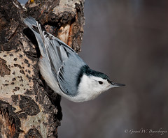 White-breasted Nuthatch (Turk Images) Tags: winter birds alberta whitebreastednuthatch sittacarolinensis ardrossan passerines sittidae naturesharmony
