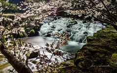 Beneath The Cherry Trees (R.N.O.photo) Tags: flowers cherry nikon stream blossoms  sakura nikkor unzen 18105mm