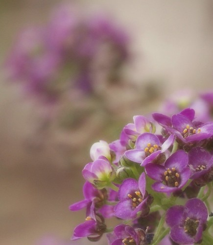 Tiny Purple Flowers