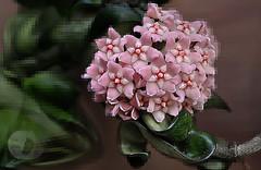 Flowering wax plant (Vivid_dreams) Tags: nature natureportrait rbg flowers plans waxplant pink artistic artisticmanipulation digitalart digitalmanipulation detail digitalphotography
