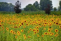 Sunflowers (Sue90ca Falling Behind. More Off Than On Lately) Tags: canon 6d sunflowers challengegamewinner