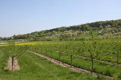 ckuchem-1296 (christine_kuchem) Tags: streuobstwiesenweg streuobstwiese streuobst wiese obstbaum frhling frhjahr blte bltezeit obstbume