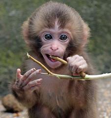 japanese macaque artis JN6A4030 (j.a.kok) Tags: artis macaque japanesemacaque makaak japansemakaak