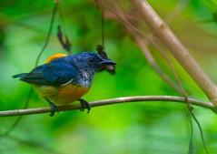 Orange-Bellied Flowerpecker (m) (eijiew1) Tags: flowerpecker d500 300f4 nikon nature bird blue orange