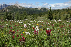 La montagne, a vous gagne (MetallYZA) Tags: 2016 canada alberta banff rando randonne hiking sunshinevillage montagnes mountains rockies rocheuses summer t wildflowers fleurs