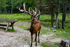Cerf Rouge (thanh_geneva) Tags: parc park parcomega ontario canada nature animal fort forest