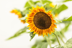 Sonne pur! (Gerosas) Tags: august blume blte bokeh gelb offenblende pflanze remsmurrkreis sommer sonne sonnenblume spaziergang waiblingen weinberge