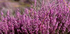 Lucky Suffolk Heather - Sutton Heath, Suffolk. 03 09 2016 (pnb511) Tags: rural countryside suffolk eastanglia heather heath heathland flowers flower vivid pink