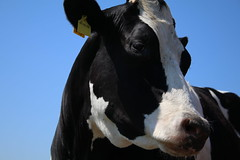 Night Fly (excellentzebu1050) Tags: dairycows cow closeup cattle animal animalportraits farm outdoor coth5