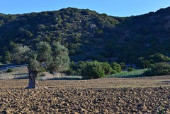 (orientalizing) Tags: cyprus dipkarpazpeninsula fallow fields karpas karpasia karpasspeninsula landscape northeasterncyprus northerncyprus olive rizokarpassoregion trees turkishoccupiedcyprus zaferburnu