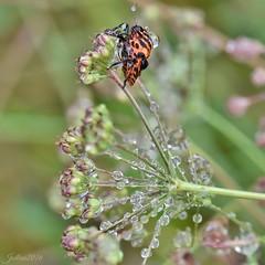 ~~J'aime la pluie pour a...! 2 ~~ (Jolisa) Tags: insecte pluie gouttelettes eau macro bokeh septembre2016